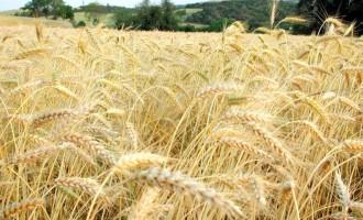 Estado deverá colher a segunda maior safra de trigo da história