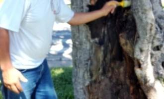 Figueira centenária recebe tratamento na Dom Joaquim