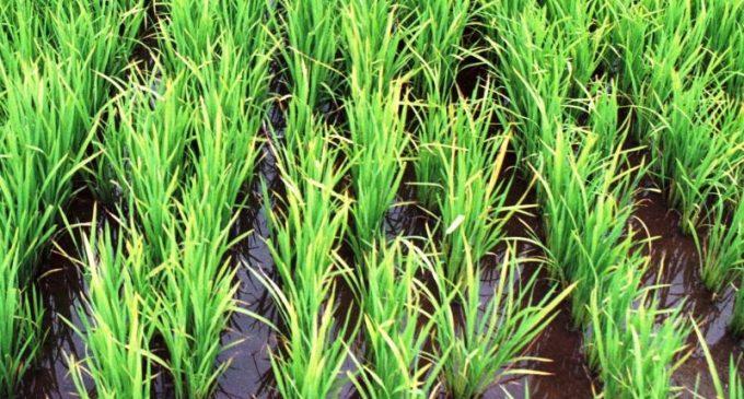 Região Sul atingiu 92% da semeadura de arroz