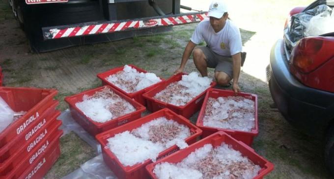 Quase uma tonelada de camarão é apreendida