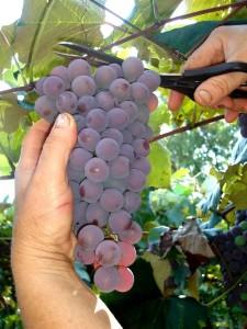 Há cerca de 50 produtores de uvas em Pelotas