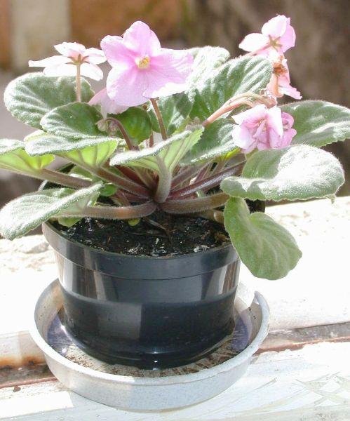 O acumulo de água em locais abertos como em pratos de plantas ajuda que o mosquito se procrie