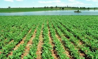 SOJA E MILHO : Perspectiva de chuvas anima os agricultores