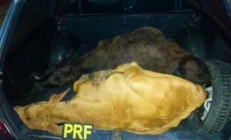 Polícia Rodoviária Federal prende dois homens por crime de abigeato no Capão do Leão