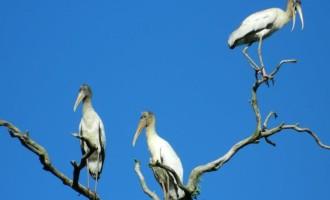 Aves migratórias são observadas no entorno das obras de duplicação da BR-116/RS