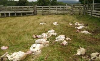 Ovelhas na mira dos abigeatários