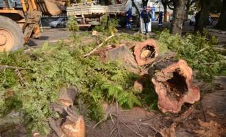 Árvores mortas são removidas da avenida Bento Gonçalves