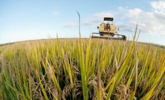 Embrapa lança hoje cultivar de arroz