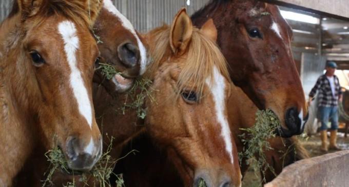 Adoção de Cavalos ocorre na terça-feira