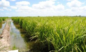 ARROZ: Irga e Embrapa lançam novas variedades resistentes a doenças e plantas daninhas