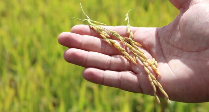 Mercado de arroz fecha ano comercial com saldo positivo de exportações