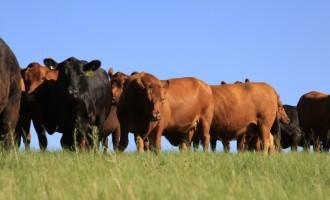 ANGUS : Produtores comemoram 15 anos do Programa Carne Certificada