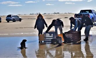 Projeto Pinípedes do Sul e FURG realizam soltura de animais marinhos reabilitados