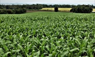 Semeadura do milho no Estado chega aos 50% da área prevista