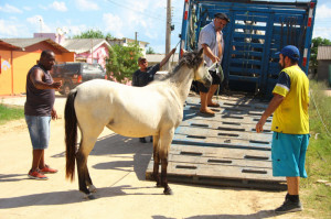 Em 10 dias, setor de Apreensão da Ssui recolheu animais em vários bairros da cidade