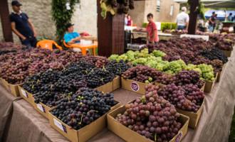 Definida a 10ª Abertura da Colheita da Uva
