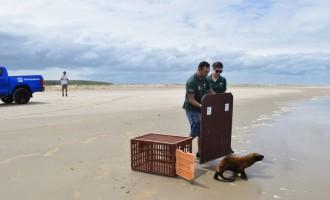 Projeto Pinípedes do Sul realiza soltura de lobo-marinho