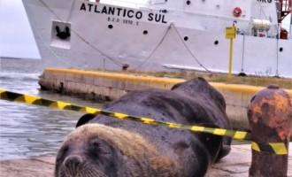ÁREA PARA REPOUSO : Leões-marinhos têm ocupado áreas centrais de Rio Grande