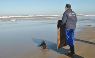 Lobo-marinho é devolvido ao mar no Cassino