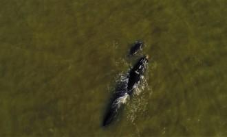 Baleias francas adulta e filhote são registradas no Balneário Cassino