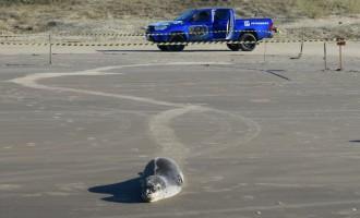ANIMAIS MARINHOS : Espécie rara de foca-leopardo encontrada em São José do Norte