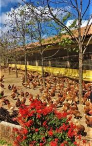NA Região Colonial, Avícola Pelotense recolhe 180 mil ovos/dia