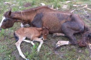 UMA égua e um potro foram encaminhados para tratamento veterinário