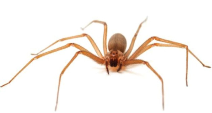 Altas temperaturas requerem maior prevenção de acidentes com a aranha-marrom
