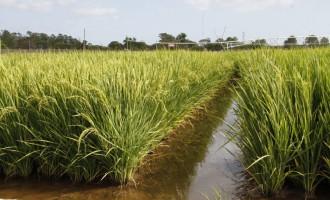 PRÓXIMO CICLO : Federarroz defende que produtor não aumente área plantada