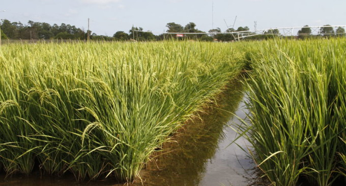 ZONA SUL   : Fortalecimento para pesquisa do arroz