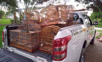 MORRO REDONDO  : Criação ilegal de aves silvestres é flagrada